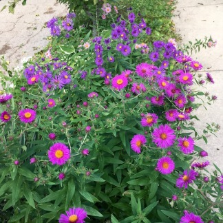 Hot Pink, Purple, and Pale Pink Asters