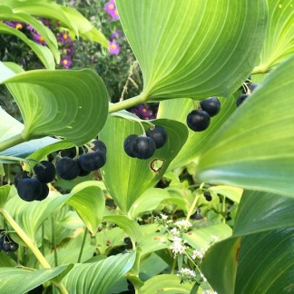Giant Solomon's Seal