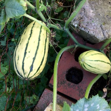 Volunteer Delicata Squash